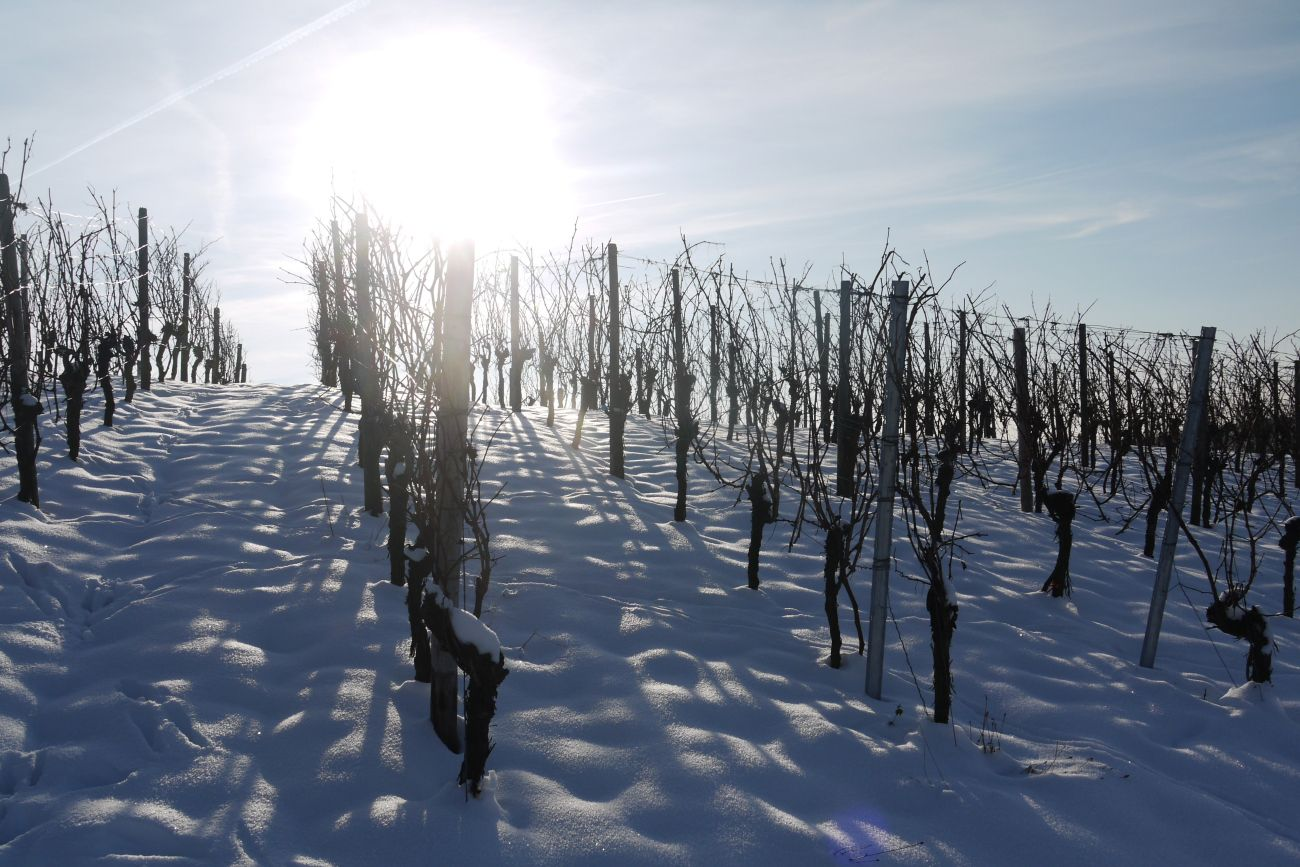 Vines i the snow